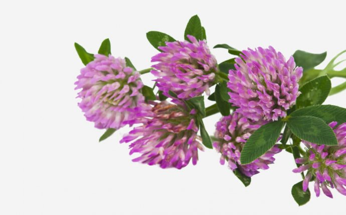 benefits of red clover tea weight loss